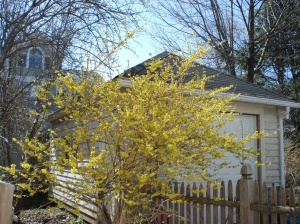 The forsythia at my old house, not the year in question.