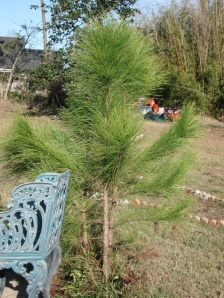 "The ""shoot"" of a new pine tree, post-Katrina."