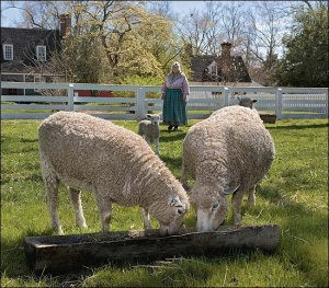 Rare breeds carefully shepherded at Colonial Williamsburg.