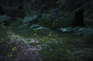[[File:GluehwuermchenImWald.jpg|thumb|Fireflies in the woods near Nuremberg, Germany, exposure time 30 seconds]]